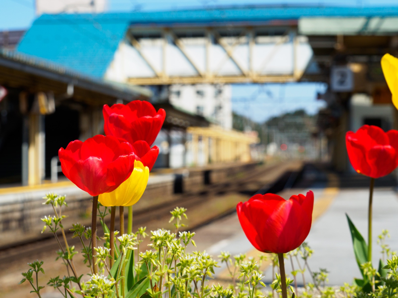 浅虫温泉駅のホームに咲くチューリップ