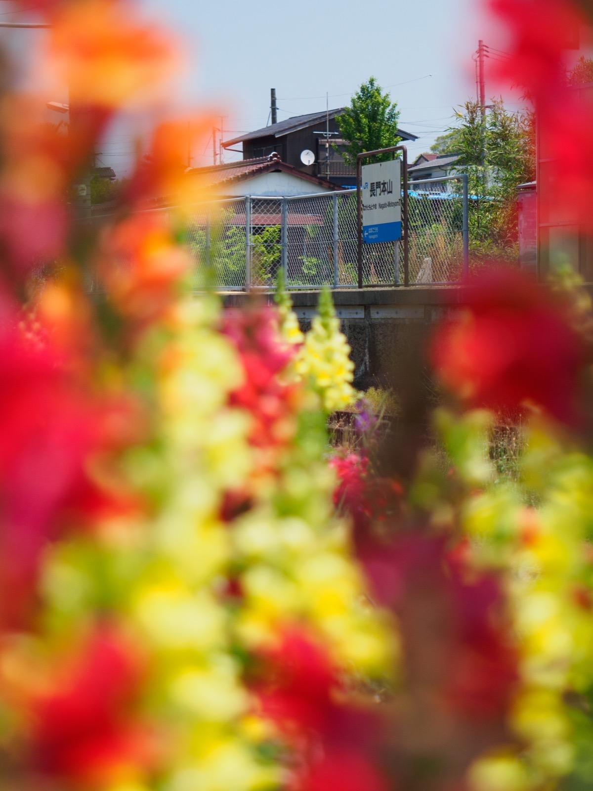 キンギョソウ越しに望む長門本山駅