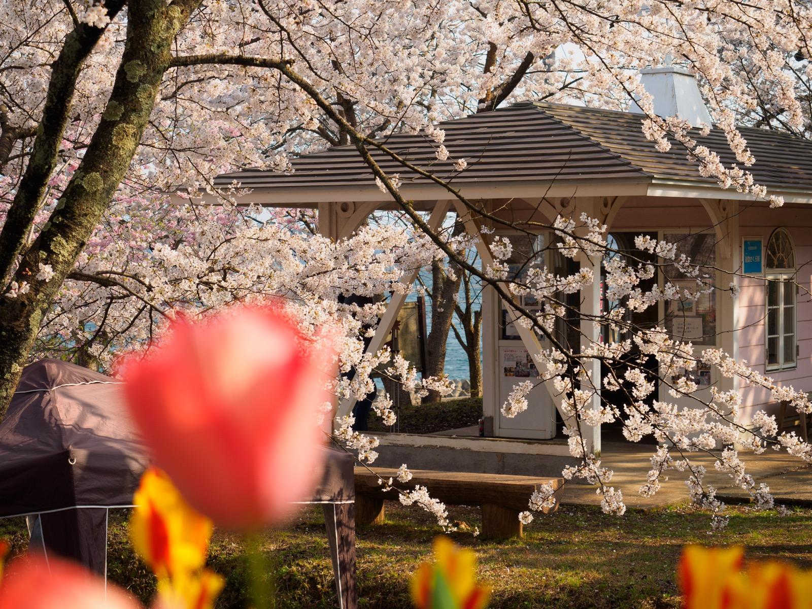 満開の桜と花々に囲まれた、能登鹿島駅(能登さくら駅)の駅舎