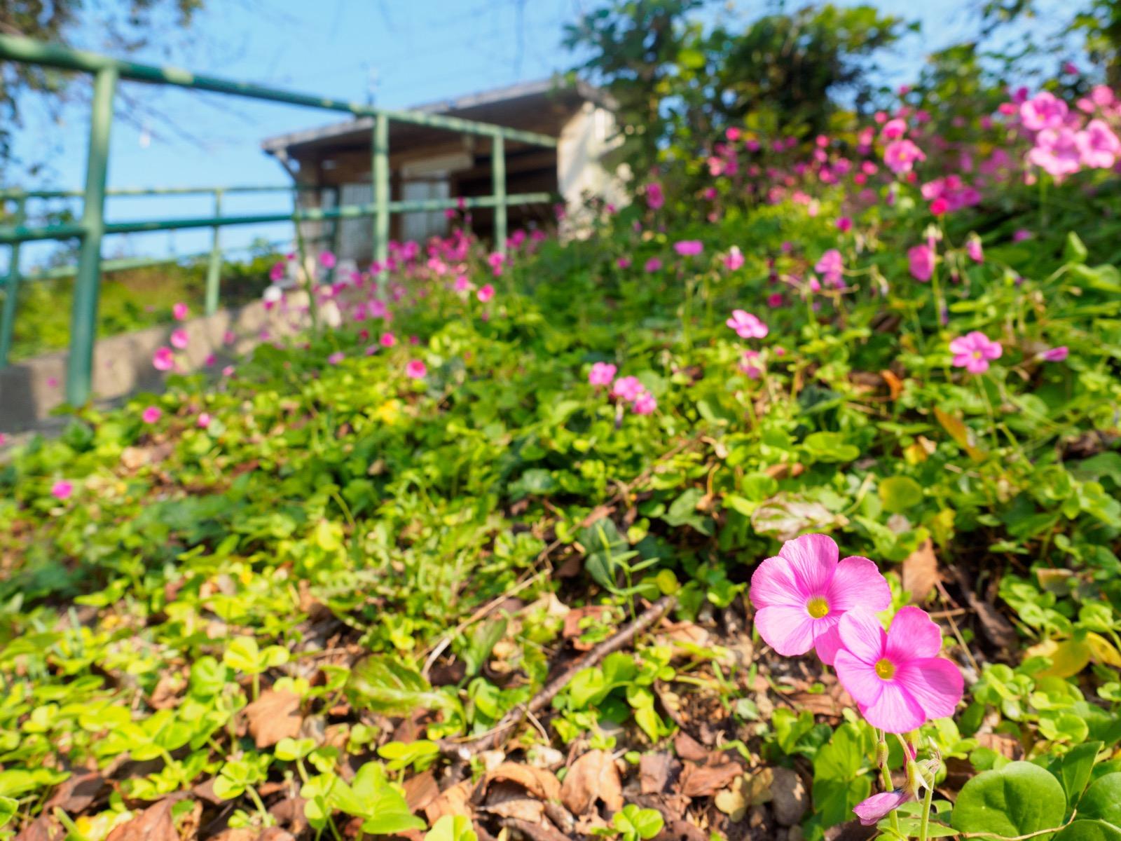 肥前飯田駅の山側の斜面に咲いていたハナカタバミ
