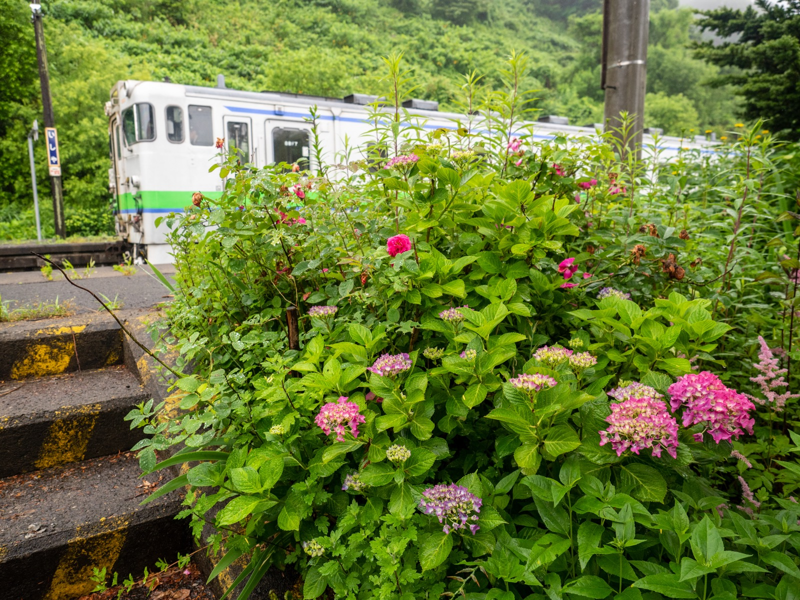石谷駅のアジサイ(2016年7月)