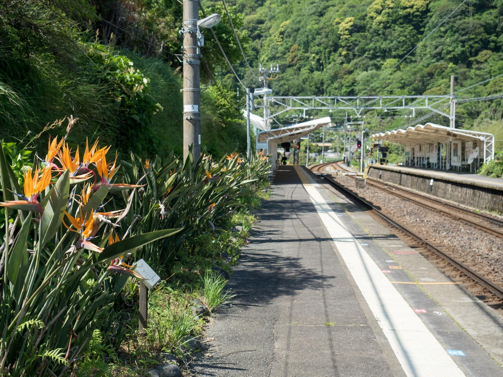伊豆大川駅のホームと極楽鳥花(ストレチア)