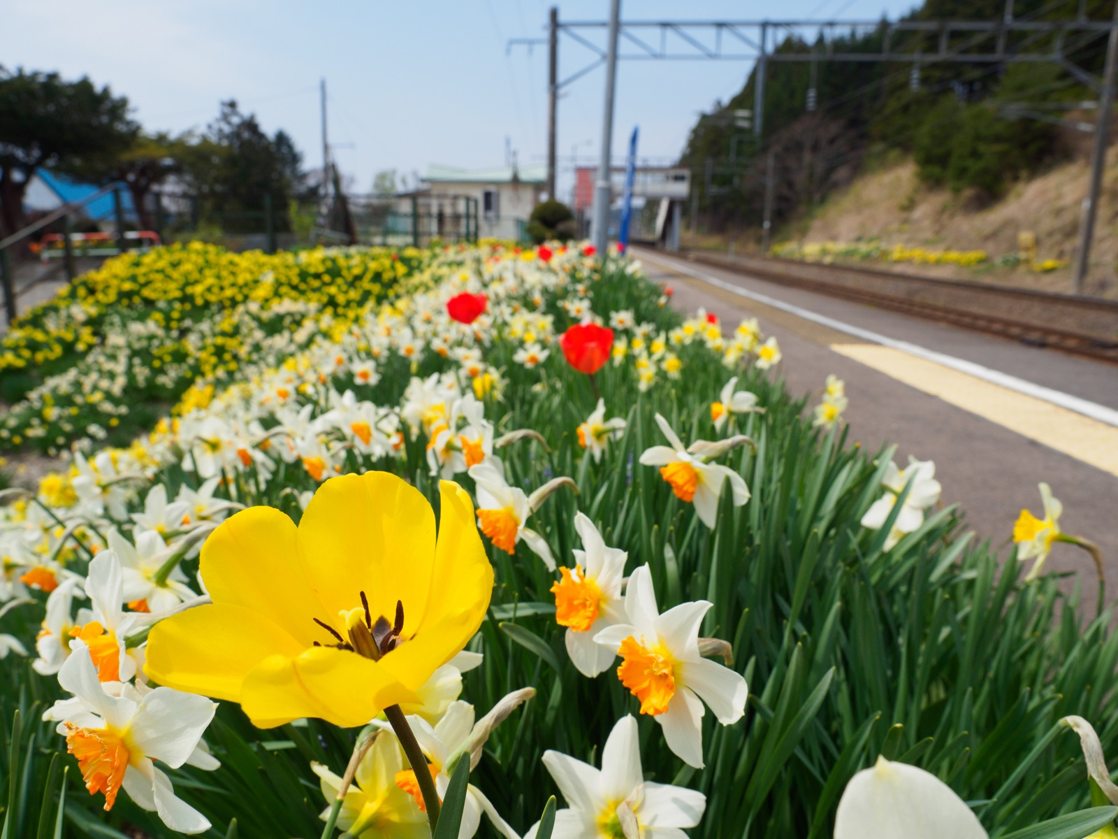 泉沢駅のホームにあるスイセン・チューリップ畑