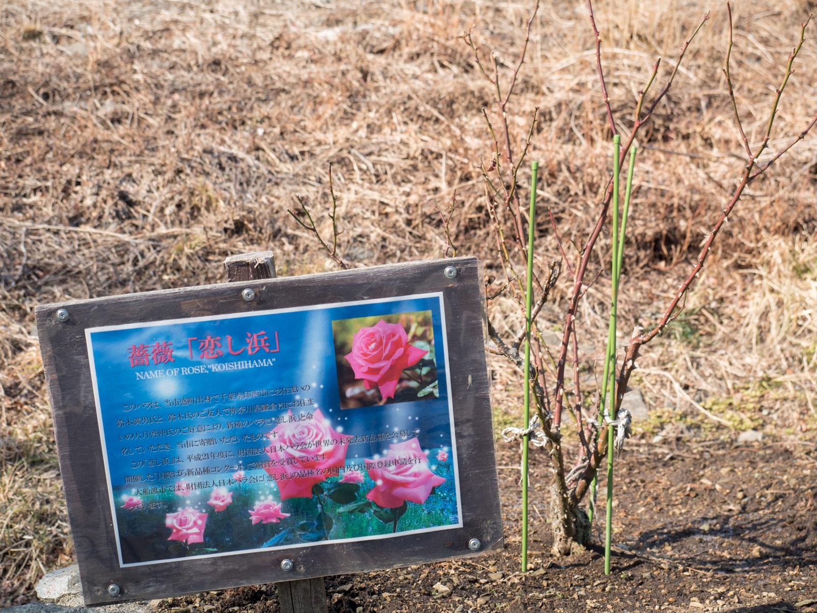 恋し浜駅前に植えれられたバラ「恋し浜」(2016年2月)