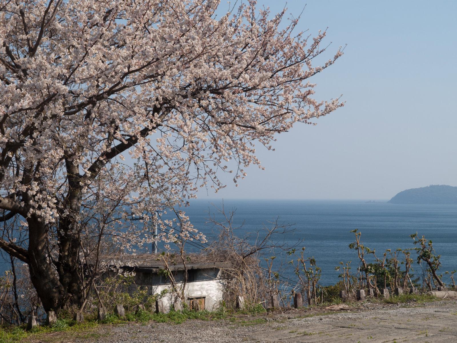 根府川駅の桜