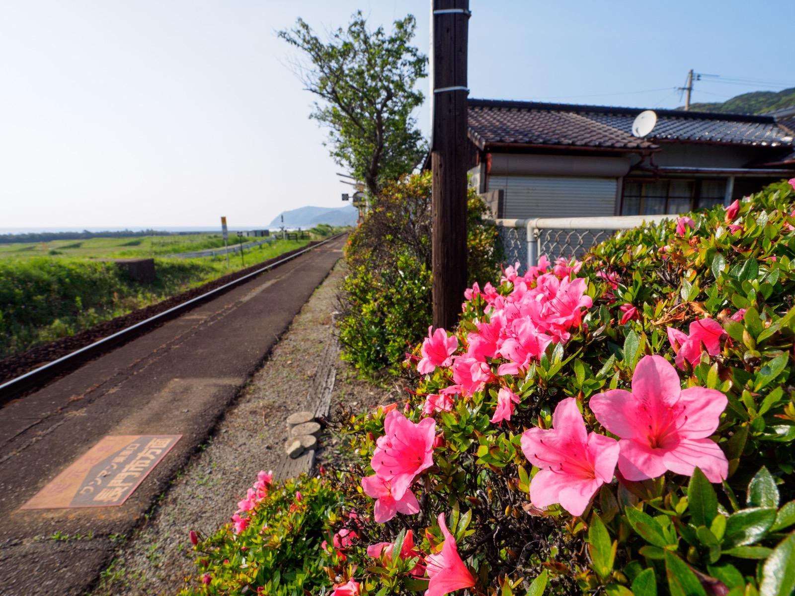 宇賀本郷駅のホームに咲くツツジ