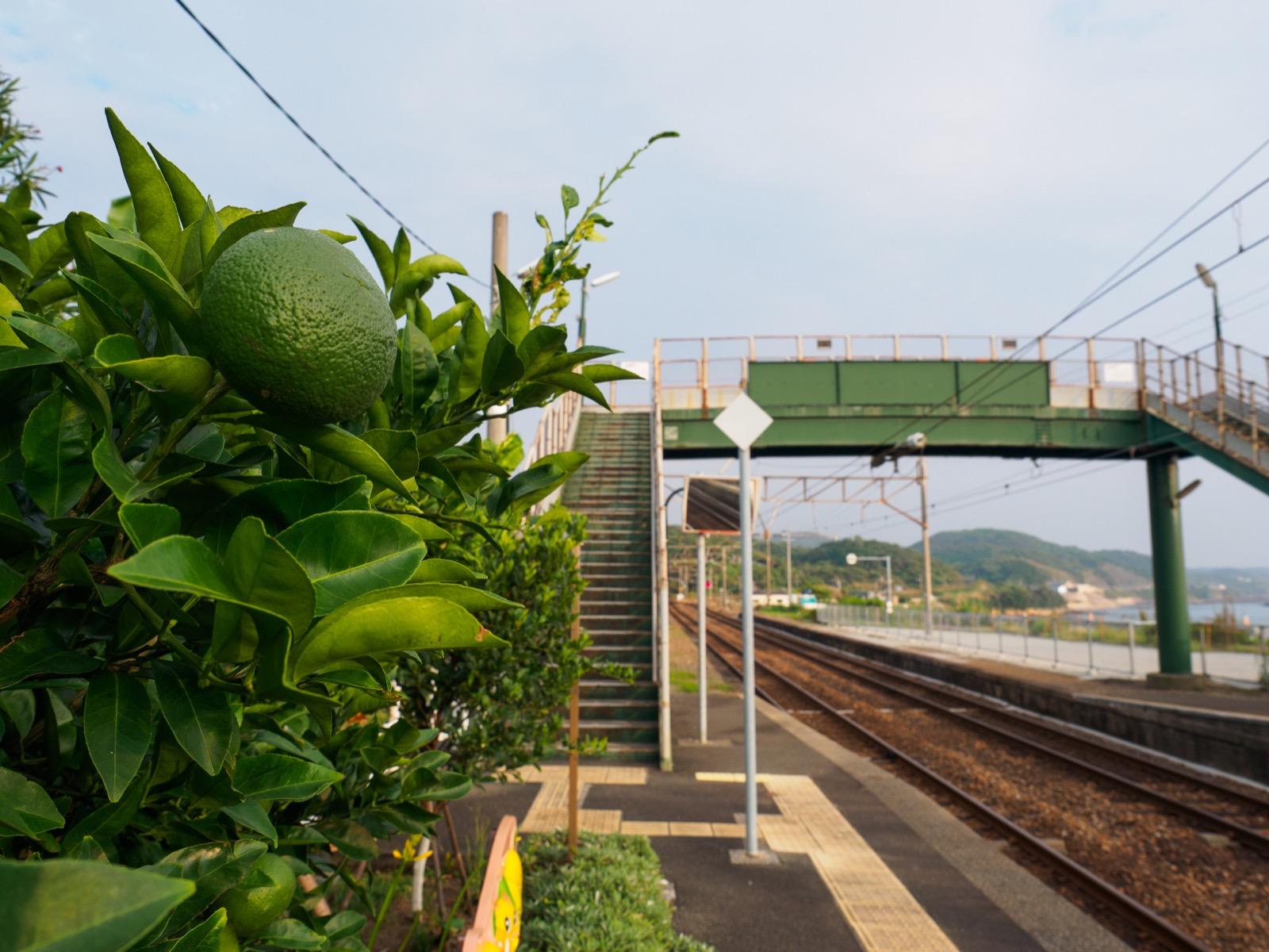 牛ノ浜駅のホームにある柑橘の木
